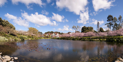 The reflection on the lake of blooming cherry blossom or sakura flowers during spring season at Palmerston North, New Zealand