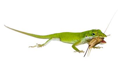 The lizard Northern Green Anole (Anolis carolinensis carolinensi