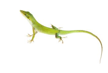 The lizard  Northern Green Anole (Anolis carolinensis carolinens