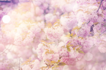 Spring Sakura dreamy background