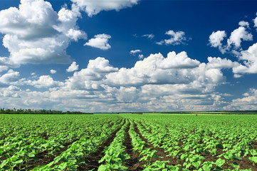 spring landscape, green field with vegetable seedling bush and blue cloudy sky