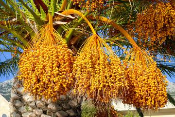 Natural dates branch in Makarska