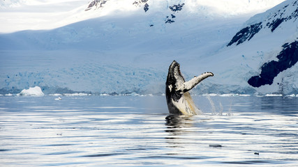 Hampback whale breaching jumping