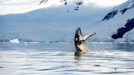 Hampback whale breaching jumping