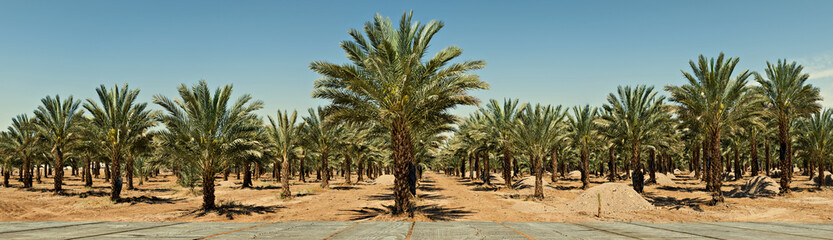 Panoramic view on plantation of date palms in desert of the Negev, Israel