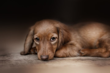 Dachshund dog looks at camera