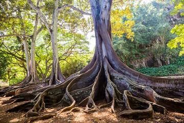 Ficus Macrophylla Morten Bay Fig root
