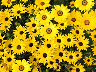 Rudbeckia hirta, commonly called black-eyed-susan or Yellow sunflowers