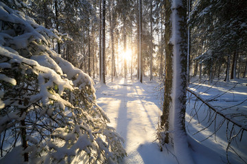 Sunshine in winter forest