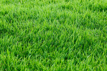 Real grass for pattern and background