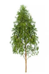 Eucalyptus Tree image, Tree object, Tree JPG isolated on white b