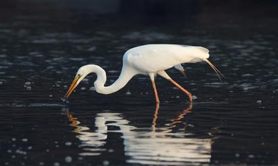 Egret catching fish with dark background