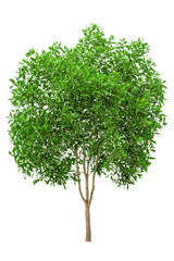 Tree image, Tree object, Tree JPG isolated on white background