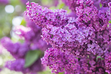 Photo sur Plexiglas Lilac Green branch with spring lilac flowers
