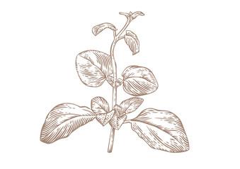 Branch of oregano