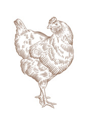 Standing brown chicken