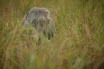 Big wild indian elephant in Kaziranga/big indian elephant in Kaziranga