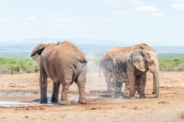 Elephant spraying it self with water