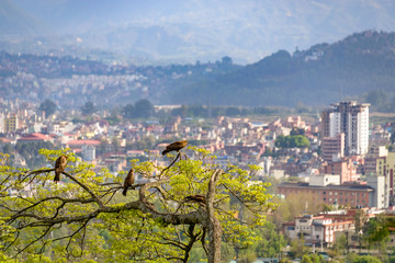 Birds of prey on a tree overlooking Kathmandu