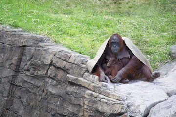 Orangutan mother with her child.