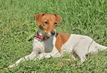 Parson Russell Terrier 10
