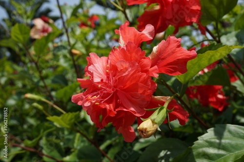 Double Bloom Red Hibiscus Flower Stock Photo And Royalty Free