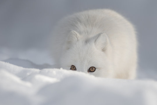 An Arctic Fox in Snow looking at the camera.