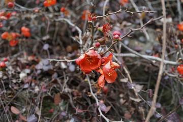 ボケの花  赤い花