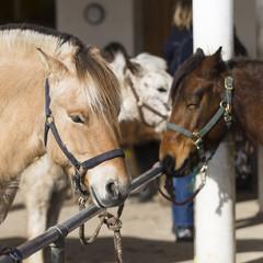 Fjordpferd und Ponys mit Halfter angeleint an Stange auf einem Reiterhof