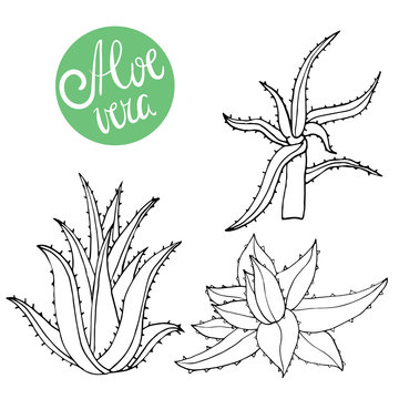 Collection of hand drawing aloe isolated on white