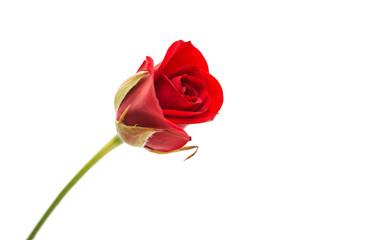 rode roos geïsoleerd