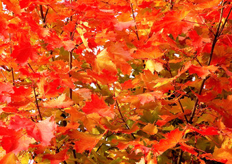 A fragment beautiful red maple tree in autumn