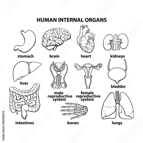 Human organs. Internal organs set. Human anatomy, internal parts of ...