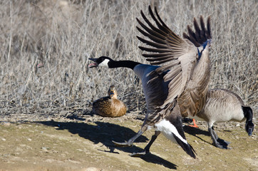 Canada Goose Squawking As It Comes In For Landing
