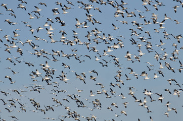Massive Flock of Snow Geese Flying in a Blue Sky