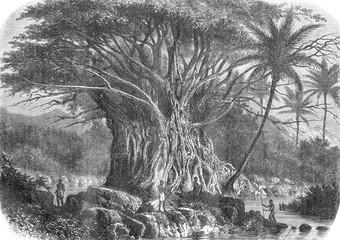 Colossal fig tree in the Anna-Maria Bay in Nuka Hiva, Oceania, v