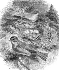 The Rouge-Gorge and its nest, vintage engraving.