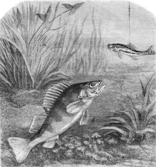 Perch fishing, vintage engraving.