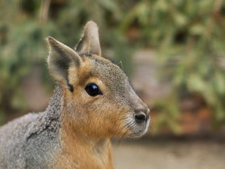 Close up portrait of the head of Patagonian Mara. This animal  is a relatively large rodent in the mara genus. It is also known as the Patagonian cavy, Patagonian hare or dillaby.