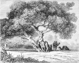 The Tree of Egypt Virgin, vintage engraving.