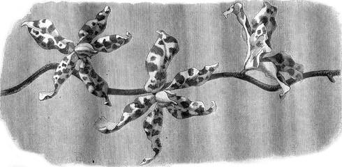 Orchid, Flowers Renanthera Lowii, vintage engraving.