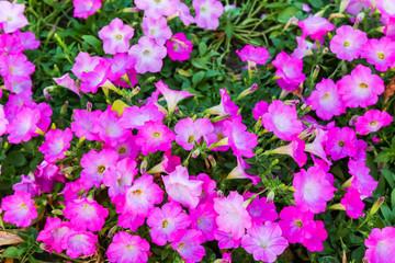 pink flowers bush.
