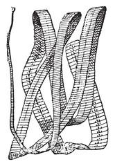 Bothriocephalus, vintage engraving.