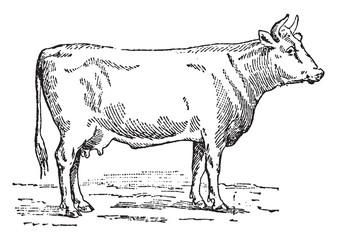 Flemish cow, vintage engraving.
