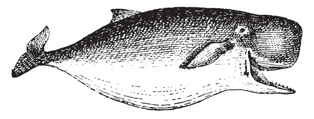 Sperm whale or Cachalot, vintage engraving.