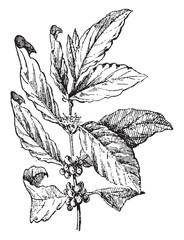 Coffee tree, vintage engraving.