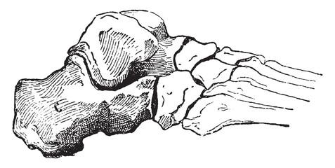 Calcaneus or Heel Bone, vintage engraving.