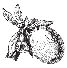Calabash or Bottle gourd, vintage engraving.