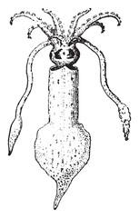 Squid, vintage engraving.