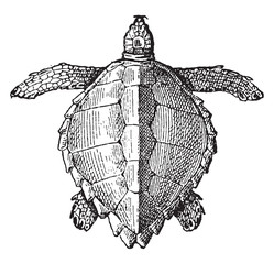 Loggerhead sea turtle, vintage engraving.